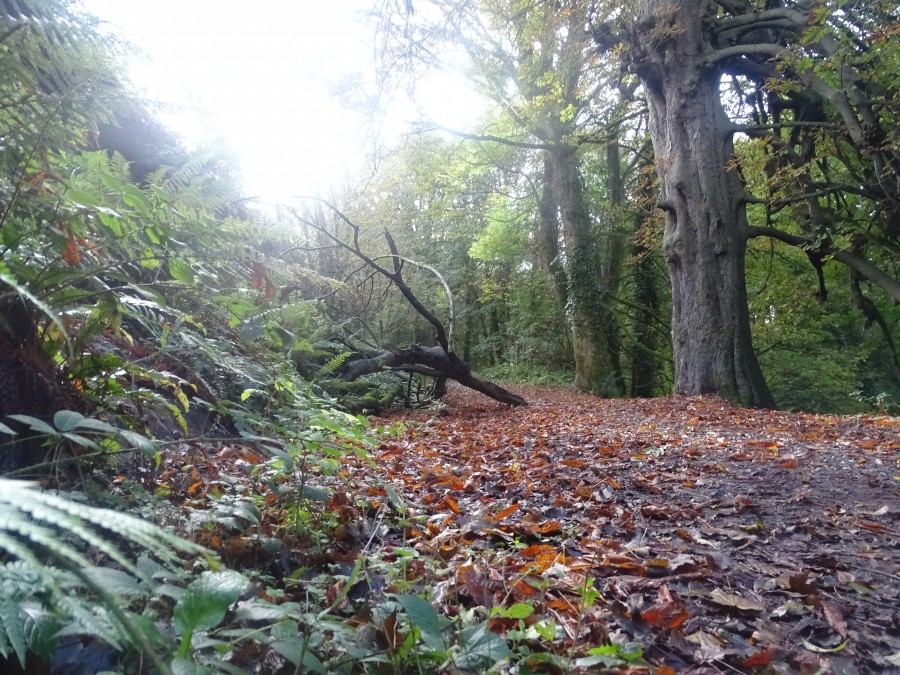 Autumn in Old Court Woods, Rochestown, October 2019