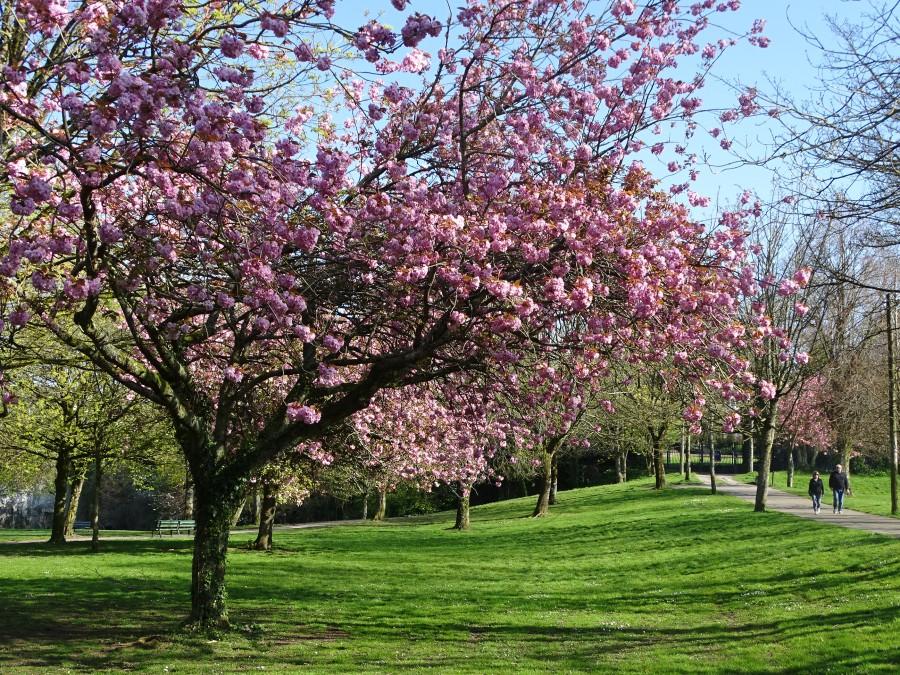 Blossoms, Japanese Gardens, Ballinlough, April 2020
